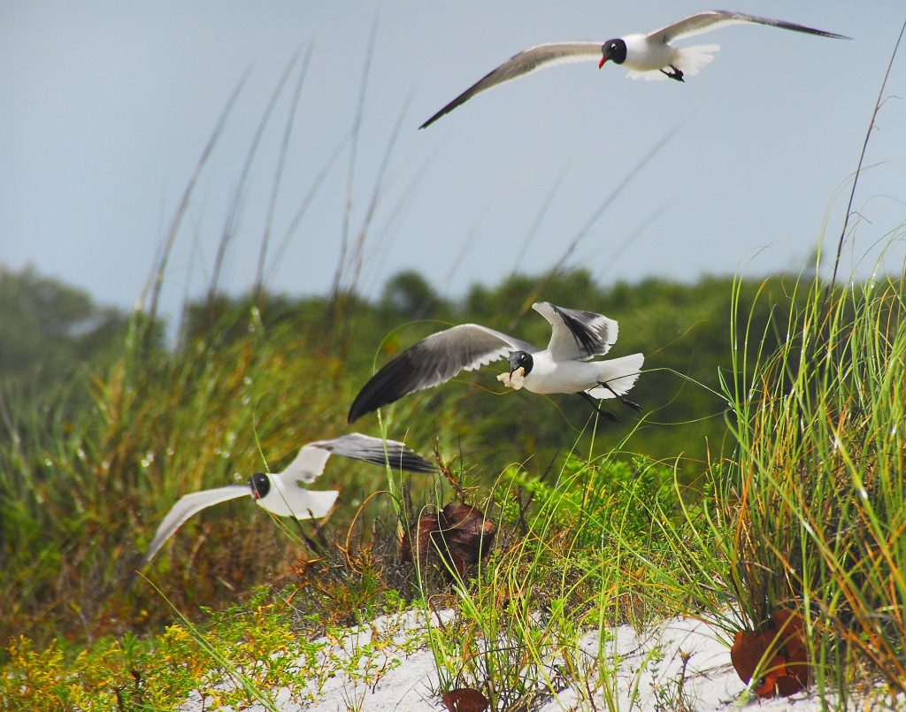 Laughing_Gulls_at_Lovers_Key_State_Park,_Florida_-_Flickr_-_Andrea_Westmoreland